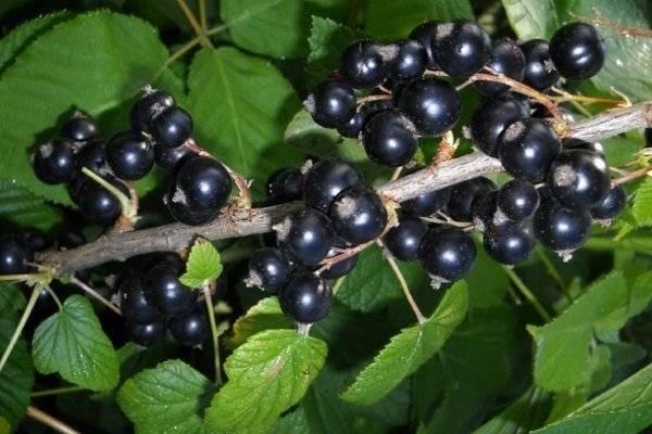 Характеристики и описание смородины сорта Дачница, особенности посадки и ухода