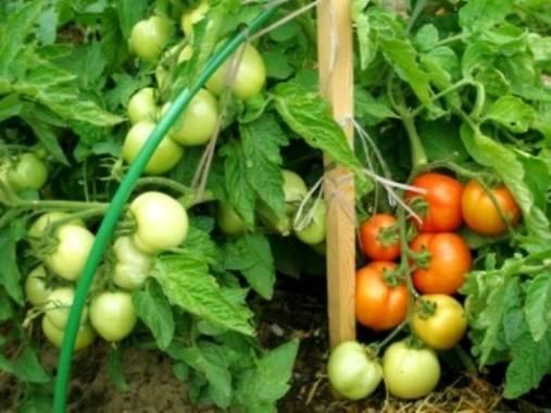 Томаты санька — особенности выращивания ультрараннего сорта