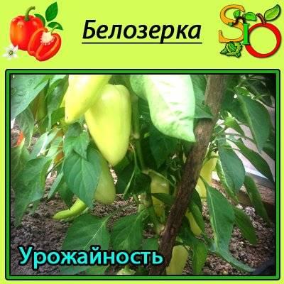 Выращиваем перец белозерка: описание, характеристики, выращивание