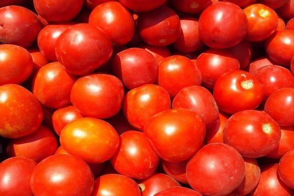 Описание сорта томата Шаста, выращивание и уход за растением