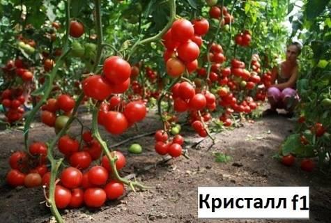Выращивание, характеристики и описание сорта томата Кристалл F1
