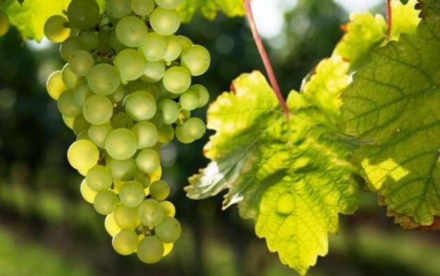 Правила посадки винограда – пошаговая инструкция и советы + видео