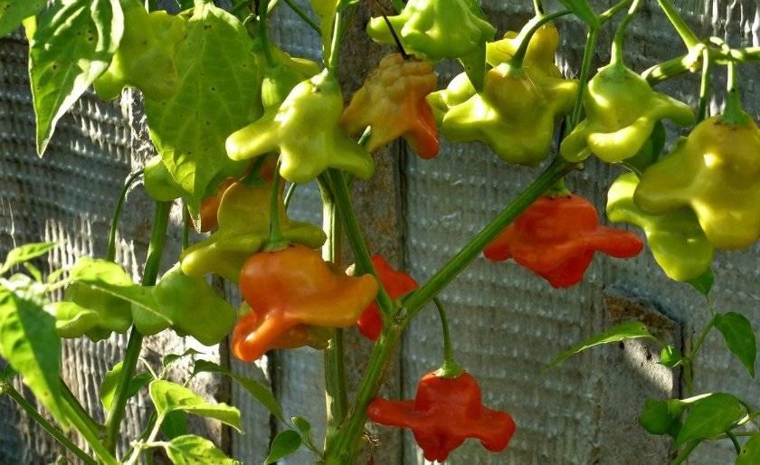 Описание остро-сладкого перца колокольчик и агротехника выращивания