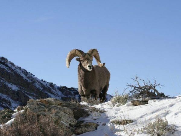 Овцы породы тексель: описание и характеристика