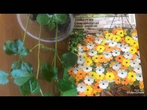 Тунбергия: виды, сорта, уход в домашних условиях