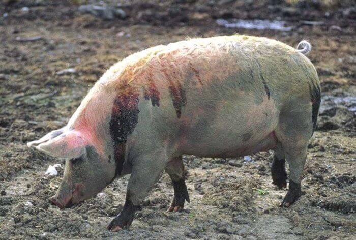 Виды и симптомы кожных заболеваний у свиней, лечение и профилактика