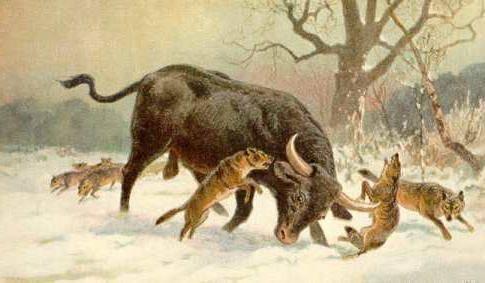 Первобытный бык: история дикого тура. тур - дикий бык (вымершее животное) тур предок коровы