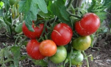 Томат сибирский козырь: характеристика и описание сорта, урожайность, фото, отзывы