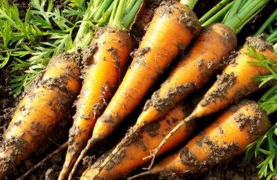 Как вырастить морковь из семян: посадка в открытый грунт
