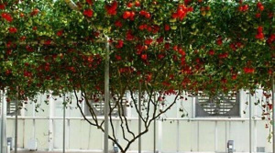 Как выращивать и ухаживать за помидорами в открытом грунте