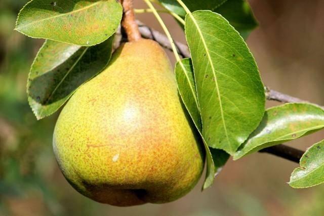 Появилась мучнистая роса на яблоне? как с ней бороться