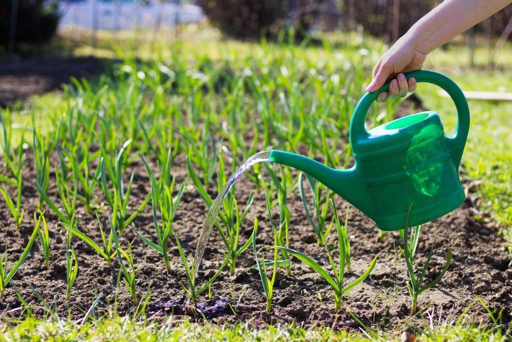 Как часто нужно поливать лук. как правильно поливать лук, чтобы получить хороший урожай