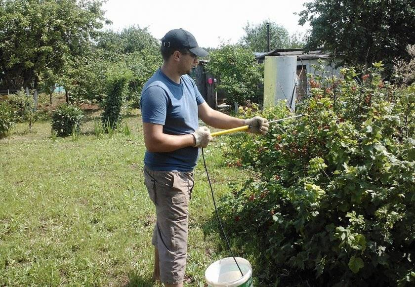 Подкормка болгарского перца нашатырным спиртом: сроки внесения удобрения
