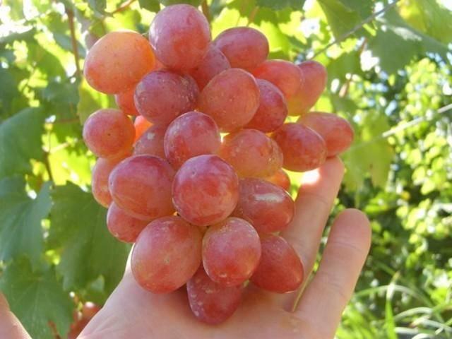 Сорт винограда анюта: описание, фото