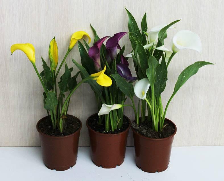 Почему каллы не цветут в открытом грунте и что делать в домашних условиях
