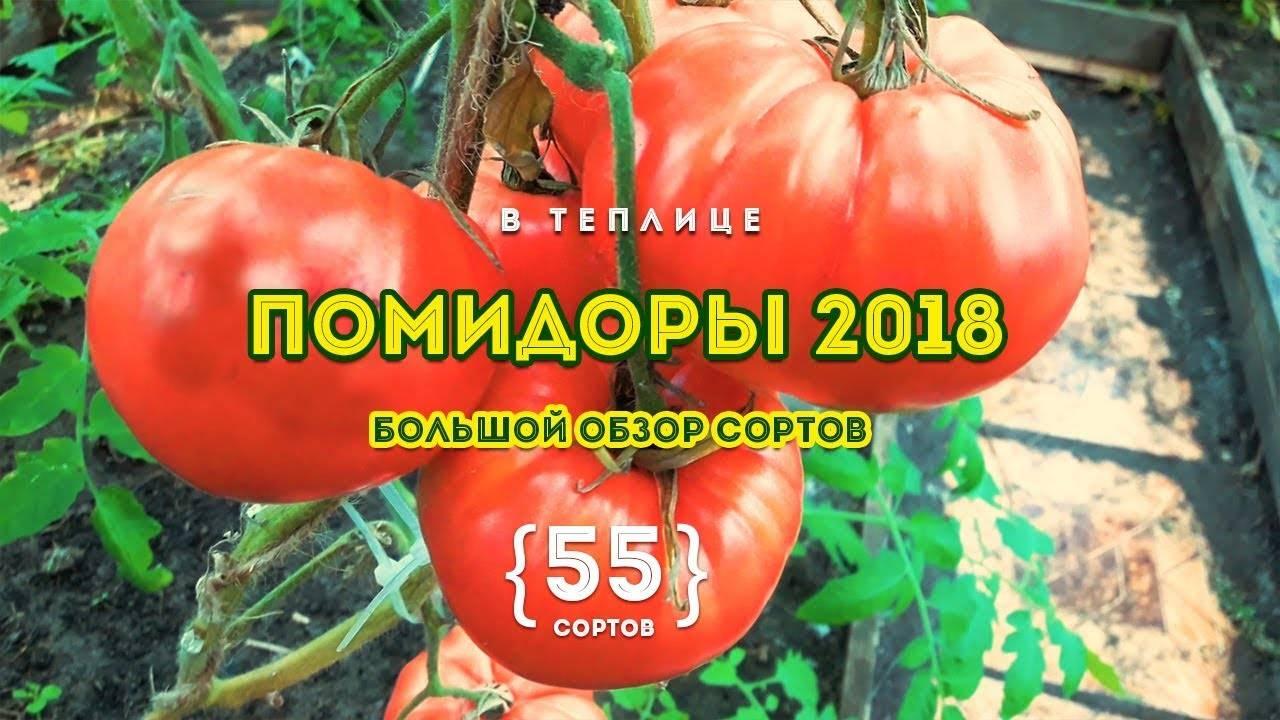 Сорт томата «малиновая рапсодия»: описание, характеристика, посев на рассаду, подкормка, урожайность, фото, видео и самые распространенные болезни томатов