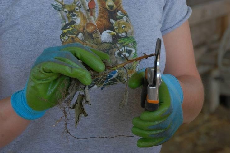 Размножение ремонтантной малины, правила и секреты