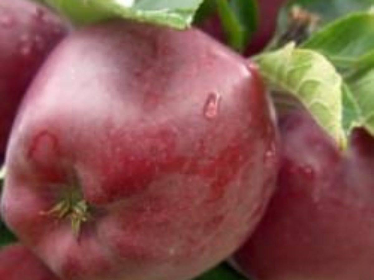 Описание яблони сорта макинтош: характеристики, фото, видео, отзывы садоводов