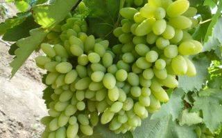 Особенности выращивания винограда ландыш — посадка и уход за культурой