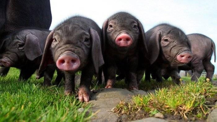 Описание и характеристики свиней породы ландрас, условия содержания и разведение