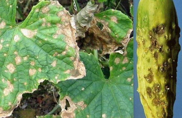 Антракноз: фото и описание болезни, чем и как лечить растения