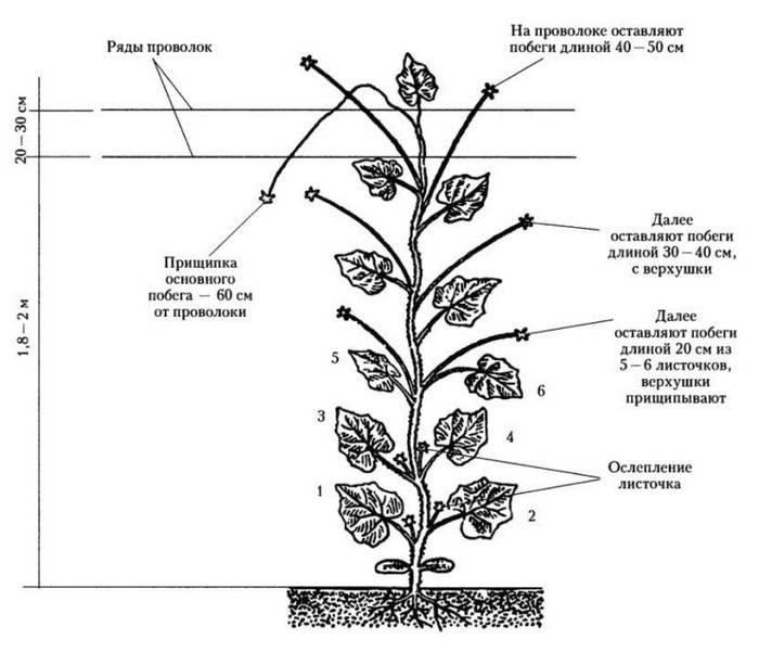 Формирование огурца в теплице из поликарбоната: как правильно пасынковать и прищипывать? схема и фото