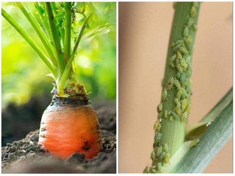 На моркови тля, как бороться в домашних условиях
