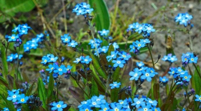 Альпийские цветы и травы