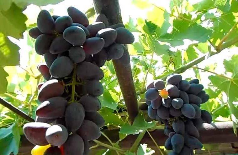 Сорт винограда викинг