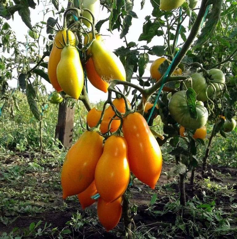 Сорт томата «титан»: описание, характеристика, посев на рассаду, подкормка, урожайность, фото, видео и самые распространенные болезни томатов