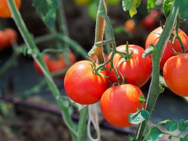 Выращивание томата толстый джек