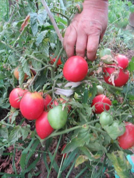 Характеристика и описание сорта томата кемеровец
