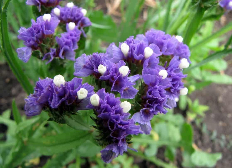 Статица (кермек): выращивание из семян, посадка и уход