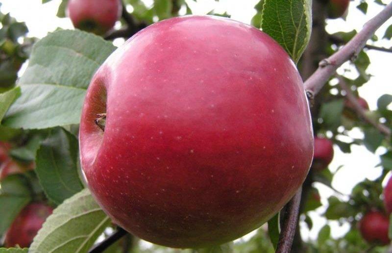 Яблоня женева эрли: особенности посадки и ухода
