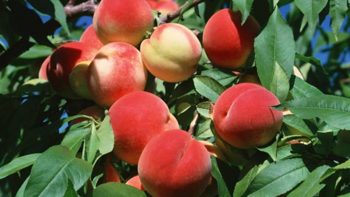 Возможные проблемы при выращивании персика