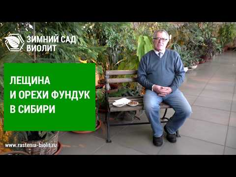 Лещина в Сибири: посадка и уход, особенности выращивания фундука