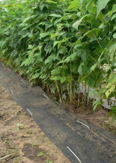 Почему многими садоводами практикуется посадка малины осенью и в чем ее преимущества