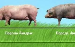 Характеристика породы свиней дюрок