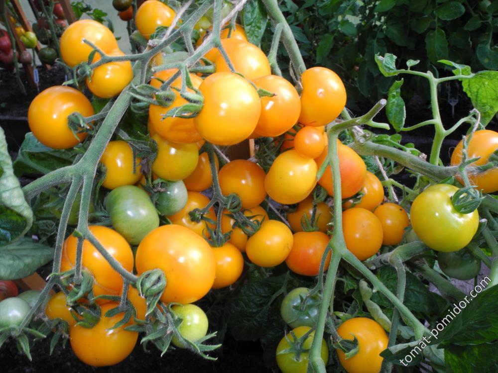 Томат солания f1 — описание сорта, урожайность, фото и отзывы садоводов