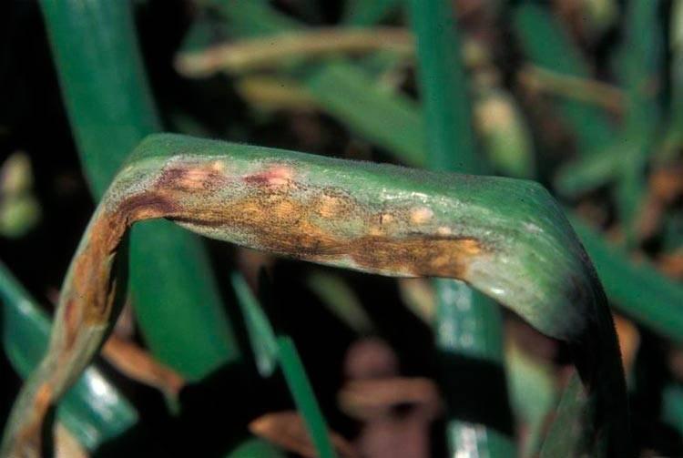 Самые опасные болезни лука и меры борьбы с ними
