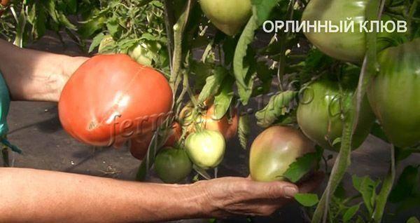 Лучшие сорта томатов для теплицы — фото, описание и характеристика