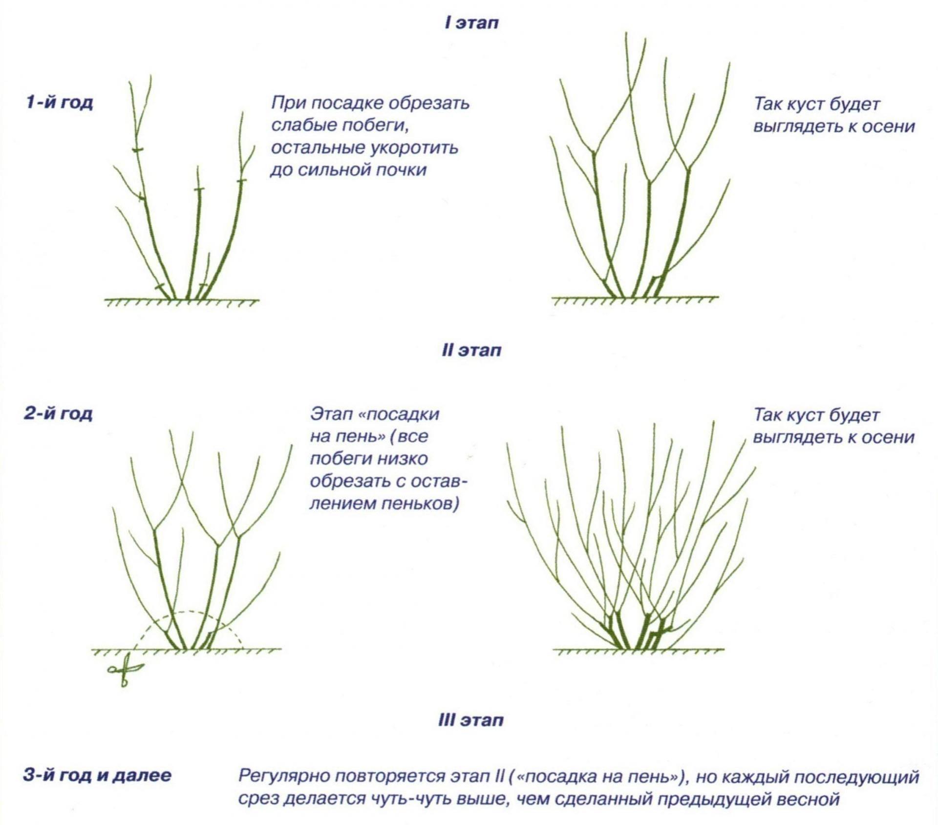 Как правильно проводить обрезку кустарников барбариса летом, весной и осенью