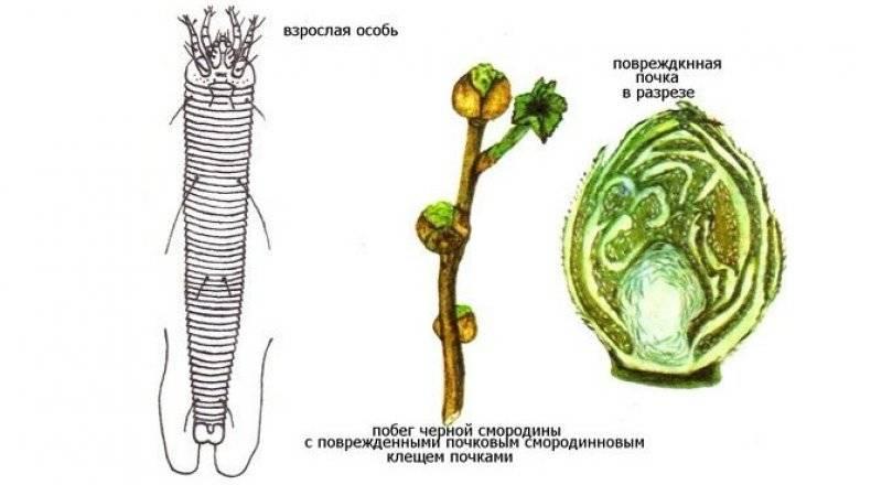 Чёрная смородина пигмей: особенности выращивания и ухода