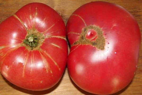 Описание томата эля и отзывы огородников