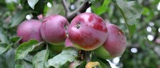 Сорт яблони белорусское сладкое – описание, фото