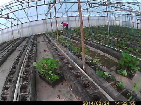 Выращивание огурцов: когда сеять рассаду для теплицы и парника
