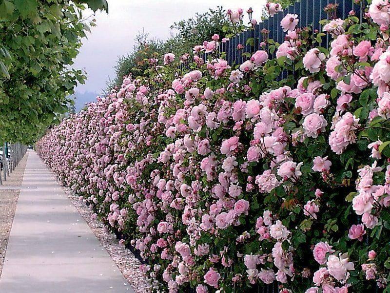 Описание роз сорта «спрей» – фото культуры