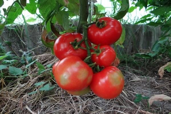 Томат ляна: характеристика и описание сорта, урожайность с фото