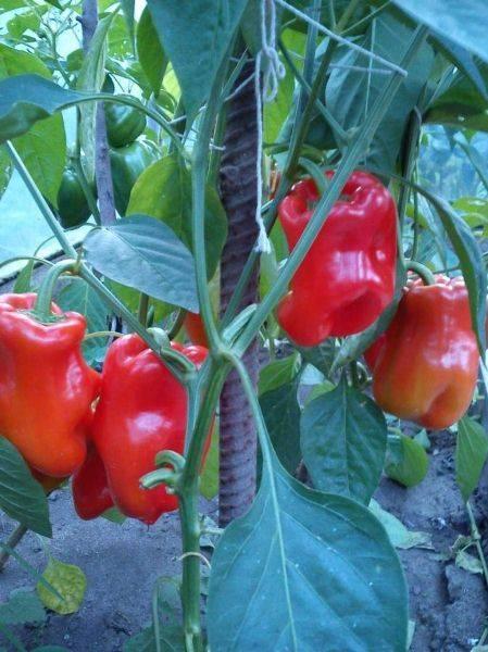 Перец «богатырь»: дружная отдача плодов гарантирована