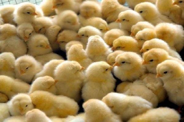 Определяем пол цыпленка: как отличить петушка от курочки в суточном, недельном и месячном возрасте